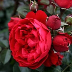 Florentina™ Arborose® Climbing Rose