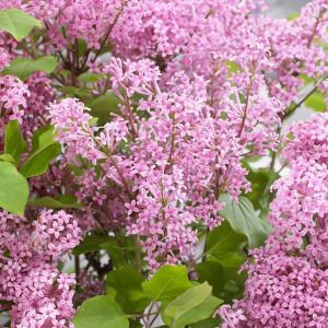 Flowerfesta® Pink Dwarf Lilac