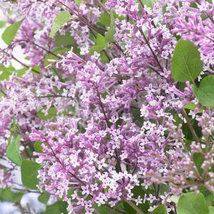 Flowerfesta® Purple Dwarf Lilac
