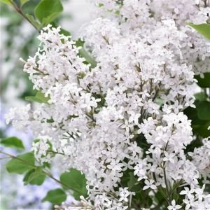 Flowerfesta® White Dwarf Lilac