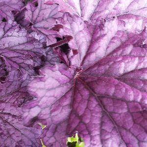 Forever® Purple Coral Bells