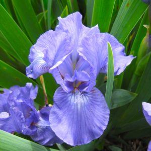 Forever Blue Dwarf Tall Bearded Iris