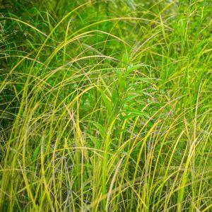 Fox Sedge Grass