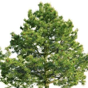 French Dark Green Scots Pine