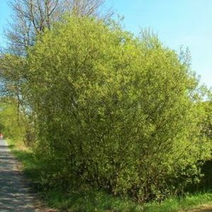 French Pussy Willow Tree