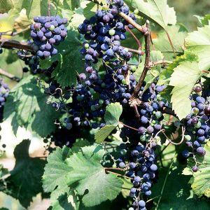 Frontenac™ Grape Vine