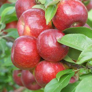 Frostbite™ Apple Tree