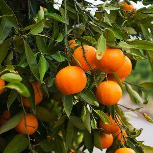 Fukamoto Orange Tree