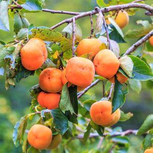 Fuyu Jiro Persimmon Tree