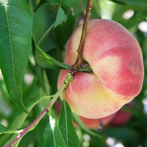 Galaxy Donut Peach Tree