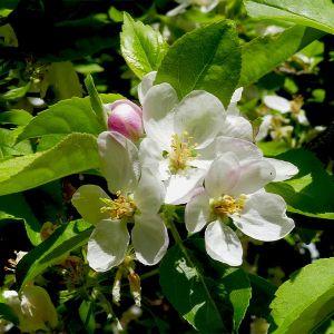 Garden Delicious Apple Tree