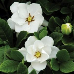 Gardenia Buttons