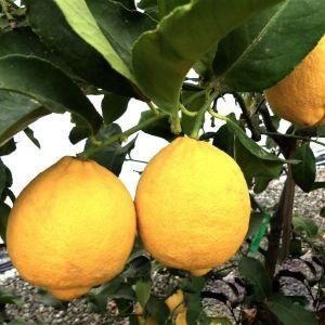 Genoa Lemon Tree