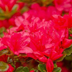 Girard's Crimson Azalea