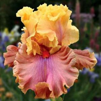 Glamazon Tall Bearded Iris