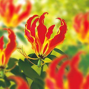 Gloriosa Rothschildiana Lily