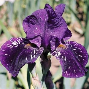 Gnu Again Tall Bearded Iris