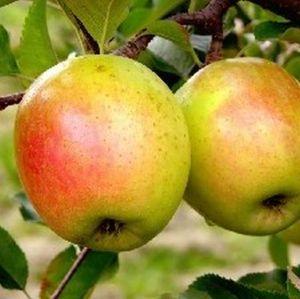 GoldRush Apple Tree