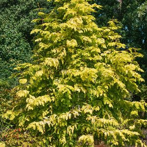 Gold Rush Dawn Redwood