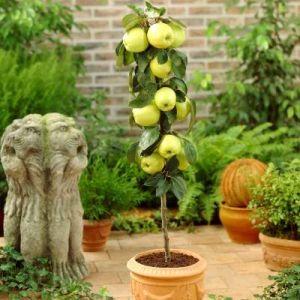 Golden Sentinel Columnar Apple Tree