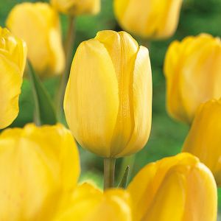 Golden Apeldoorn Tulip Bulb