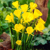 Golden Bells Daffodil
