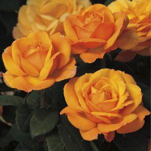 Good As Gold™ Rose