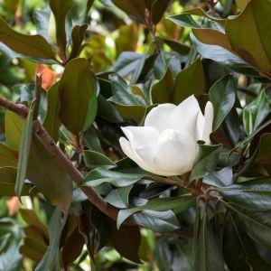 Green Giant Magnolia