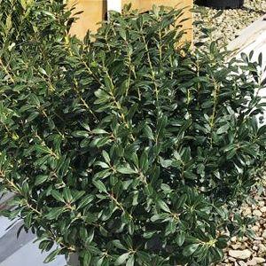 Green Magic Inkberry Holly