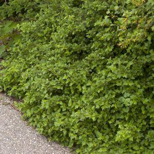 Green Mound Alpine Currant Bush