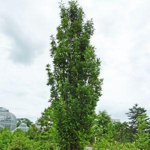 Green Pillar® Pin Oak