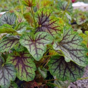 Green Spice Coral Bells