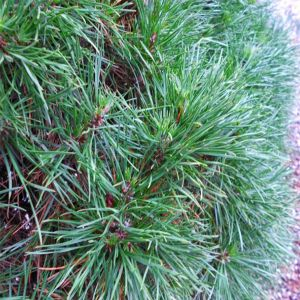 Green Penguin Dwarf Scotch Pine
