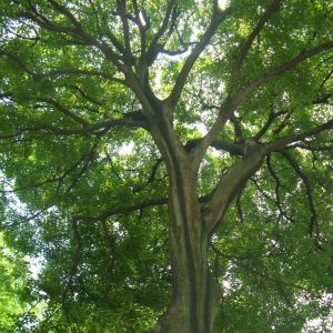 Hackberry Tree