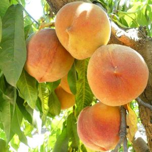 Hale Haven Peach Tree