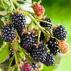 Hall's Beauty Blackberry Bush