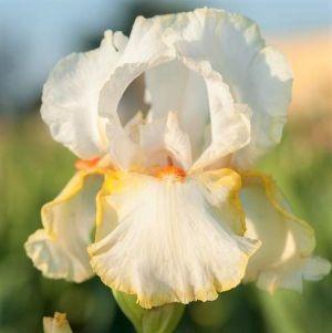 Halloween Halo Tall Bearded Iris
