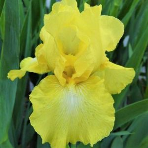 Harvest of Memories Tall Bearded Iris