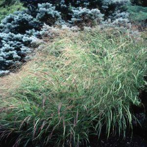 Heavy Metal Switch Grass