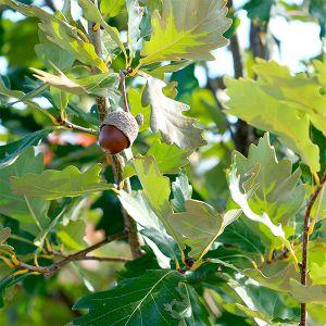 Heritage Oak Tree