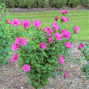 Magenta Chiffon® Rose of Sharon Shrub