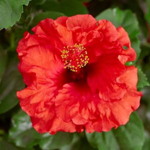 Hollywood™ Hibiscus Bombshell™