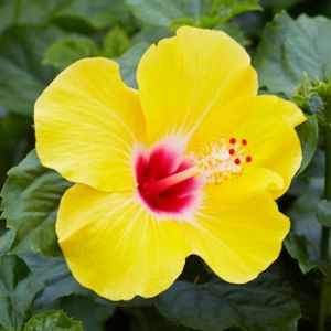 Hollywood™ Hibiscus Chatty Cathy™