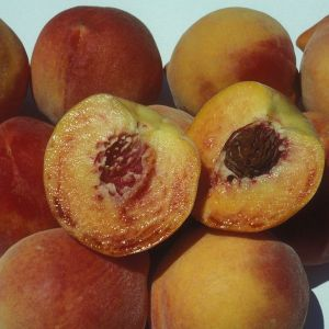 Honey Babe Peach Tree