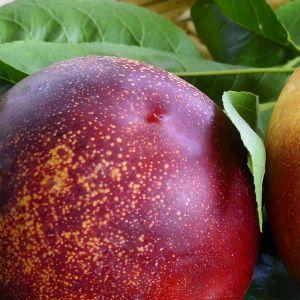 Honey Kist® Nectarine Tree