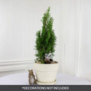 North Pole® Arborvitae Holiday Tree