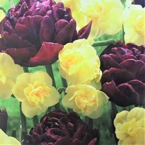 Chocolate & Vanilla Tulip/Daffodil Mix