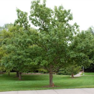 Chinkapin Oak Tree