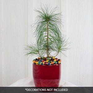 Eastern White Pine Tabletop Christmas Tree