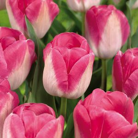 Innuendo Tulip